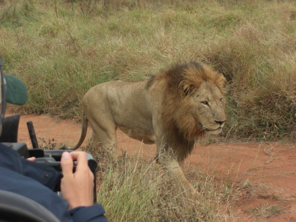 sometimes we race ahead to get a good view (even Gary takes a photo)--the lion is not phased