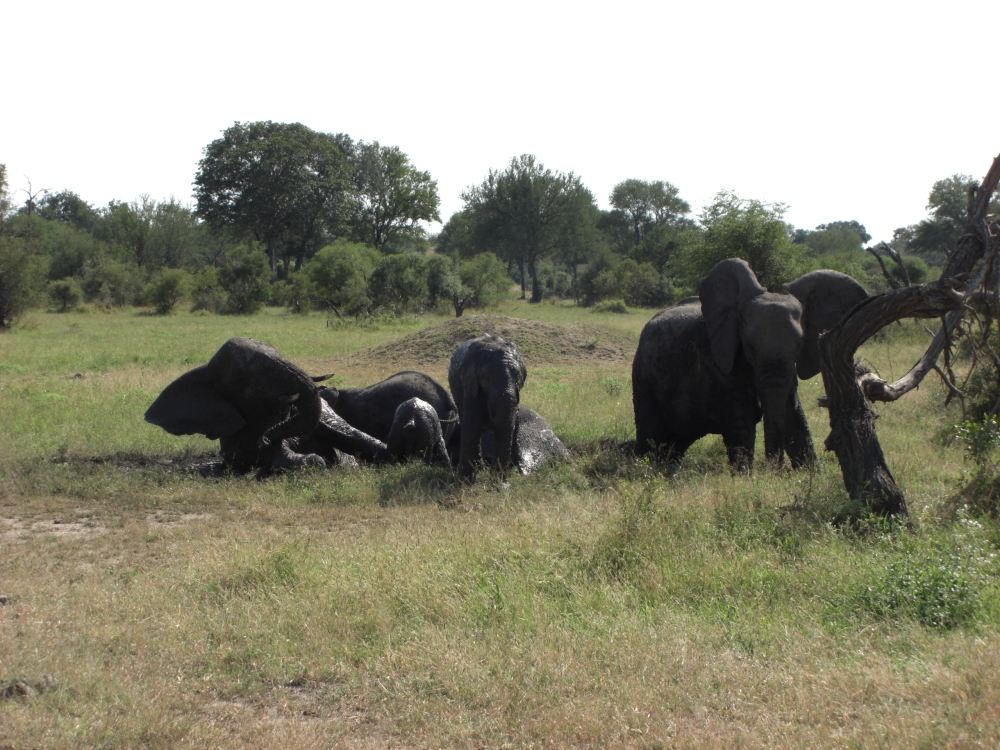 "elephants ""bathing"" in mud"
