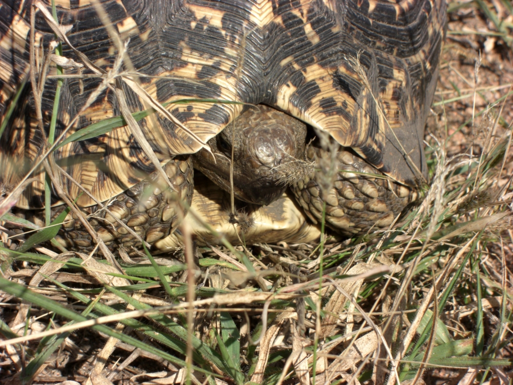leopard tortoise - for Terry