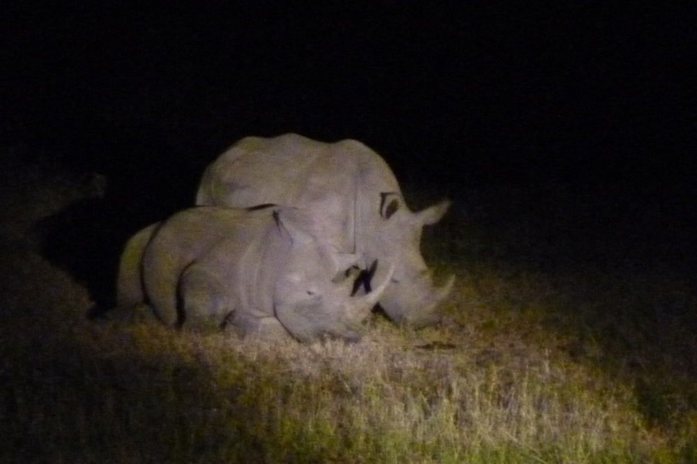 another black rhino and youngster -- we only seem to spot them at night
