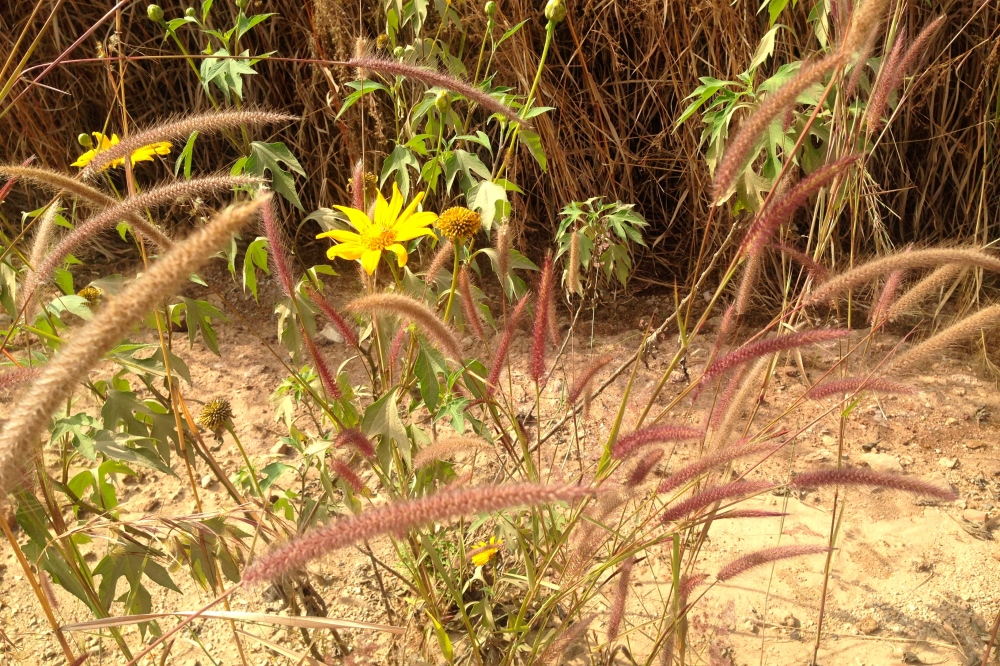 (May) Local sunflowers called Kilulu Kunja (or something like that) announcing the beginning of the dry season