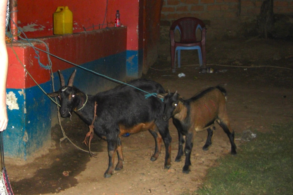 Goats waiting their turn. :(