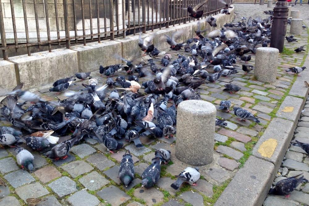 ubiquitous city pigeons