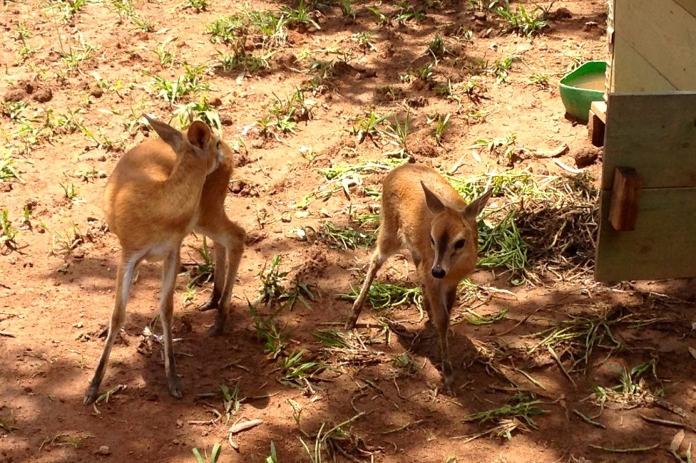 (Dec 2014) Little antelopes called dik-diks kept as pets at a driller's camp.