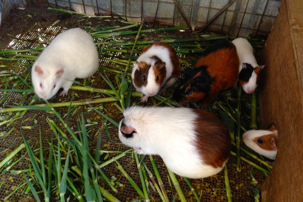 (July 2015) Guinea pigs, used as food for the company's lab mosquitos, tested regularly for their resistance to different malaria treatment programs.